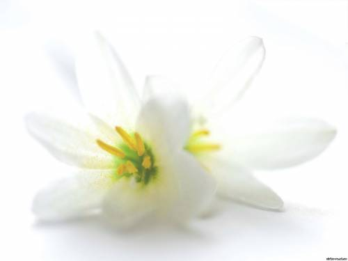 03 2010 теги цветы квіти білі квіти додав